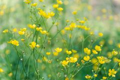 Yellow flowers in the field. Blossoming of yellow colors. Stock Photo