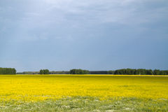 Yellow flowers in a field. And blue sky Stock Image
