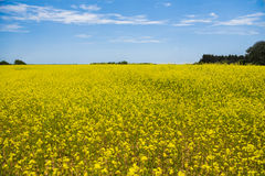 Yellow flowers on a Field with Blue Sky. Bright yellow flowers on a open field with blue Sky in the background Stock Image