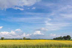 Yellow flowers on field with blue sky and clouds Stock Photos