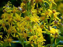 Yellow flowers on the field. Close up Royalty Free Stock Photos