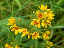 Yellow flowers on the field. Close up Royalty Free Stock Photo