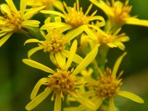 Yellow flowers on the field. Close up Royalty Free Stock Images
