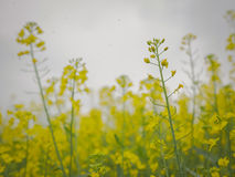 Yellow flowers on a field Stock Photo
