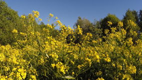 Yellow flowers. Field with yellow flowers in the forest stock video