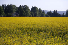 Yellow flowers. A field full of yellow flowers Royalty Free Stock Photos