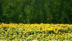 Yellow Flowers Field on Green Bushes Background. Fresh Yellow Flowers Field on Green Bushes Background Stock Photo