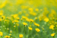 Yellow flowers field and green leaves in the garden, Royalty Free Stock Photos