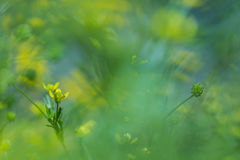 Yellow flowers in the field. Between green plants Royalty Free Stock Photography