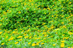 Yellow flowers in field Stock Photo