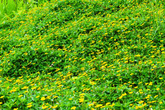 Yellow flowers in field Royalty Free Stock Photos