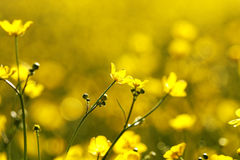 Yellow flowers on field in the morning. Stock Images