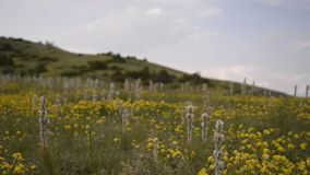 Yellow flowers field in national park Galicica stock video