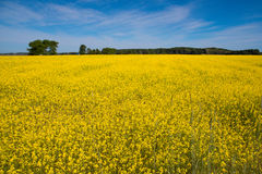 Yellow flowers field Stock Images