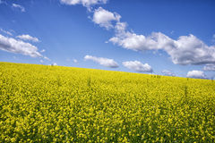 Yellow flowers field Royalty Free Stock Photos