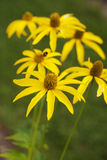 Yellow flowers on field Stock Photography
