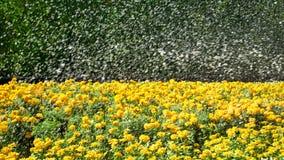 Yellow Flowers Field with Splashing Water. Fresh Yellow Flowers Field with Splashing Water Royalty Free Stock Image
