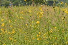 Yellow flowers field. The yellow flowers field in spring Royalty Free Stock Photography