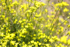 Yellow flowers. Field in the spring time stock image