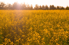 Yellow flowers in the field Royalty Free Stock Photography