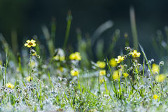 Yellow flowers in the field. At sunrise Royalty Free Stock Photo