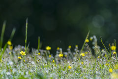Yellow flowers in the field. At sunrise Royalty Free Stock Image