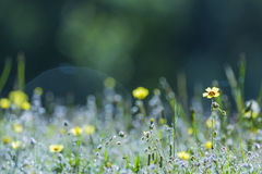 Yellow flowers in the field. At sunrise Stock Photography
