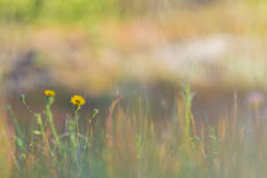 Yellow flowers in the field. At sunrise Royalty Free Stock Photos