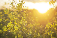 Flowers in the field at sunset. Yellow flowers in the field at sunset Stock Photo