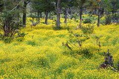 Terra del Fuego yellow flowers field in the forest stock images