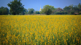 Yellow flowers  in the field. Thailand Royalty Free Stock Photos