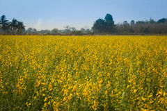 Yellow flowers  in the field. Yellow flowers  in the field, Thailand Stock Photos