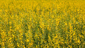 Yellow flowers  in the field. Thailand Stock Photos