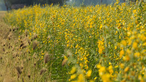 Yellow flowers  in the field. Yellow flowers  in the field, Thailand Stock Photography