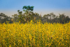 Yellow flowers  in the field. Yellow flowers  in the field, Thailand Royalty Free Stock Photography