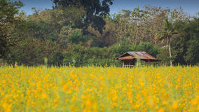 Yellow flowers  in the field. Yellow flowers  in the field, Thailand Stock Image