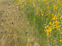 Yellow flowers  in the field. Yellow flowers  in the field, Thailand Royalty Free Stock Photos