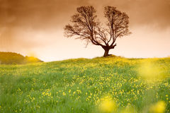 Yellow flowers field and tree Royalty Free Stock Photo