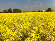 Yellow flowers in a field in Turin Stock Photography