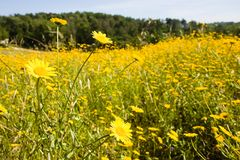 Yellow flowers in the field Stock Photography