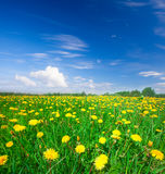 Yellow flowers field Stock Photography