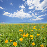 Yellow flowers field with white blue sky Stock Images