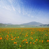 Yellow flowers field with white cloud Royalty Free Stock Images