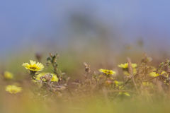 Yellow flowers in the field. Yellow wildflowers in the field Stock Photography