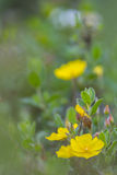 Yellow flowers in the field. Yellow wildflowers in the field Stock Photo