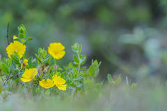 Yellow flowers in the field. Yellow wildflowers in the field Stock Image