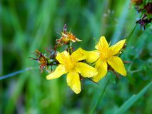 Yellow flowers on the field. Close up Royalty Free Stock Image