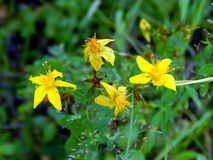 Yellow flowers on the field. Close up Stock Image