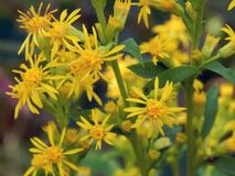 Yellow flowers on the field. Close up Royalty Free Stock Photography