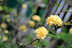 Yellow flowers. The first blooms of the season in one family& x27;s garden Royalty Free Stock Photography